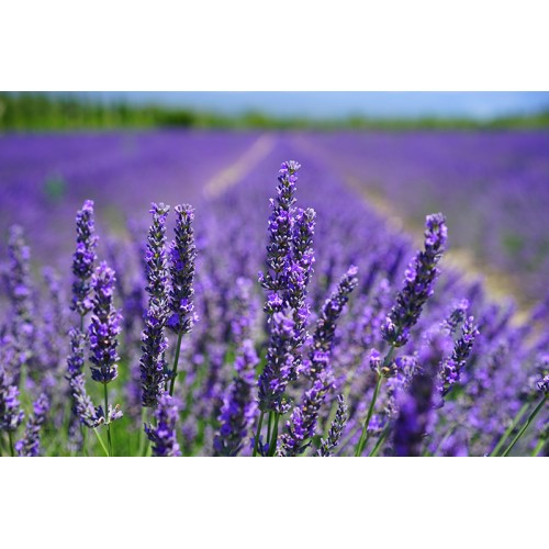 Natural Lavender Flavor WONF - MCT Oil Soluble