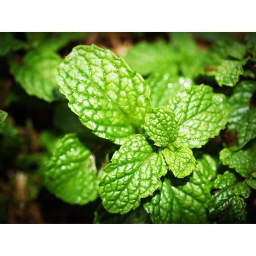 Natural Peppermint Flavor - MCT Oil Soluble